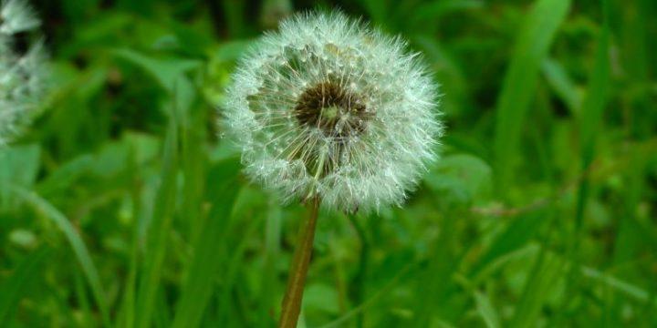 Pesona dan Arti Bunga Dandelion